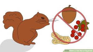 Squirrel In Basement by How To Get Rid Of Squirrels 12 Steps With Pictures Wikihow