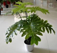 Large Indoor Plants House Plants With Large Leaves Custom Set Furniture