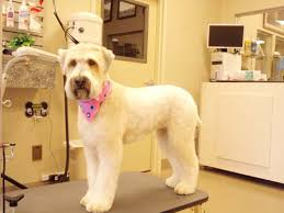 wheaten haircuts soft coated wheaten terrier after i think this is my favourite