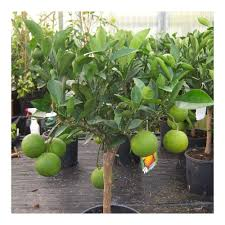Patio Fruit Trees Uk by Cross Common Nursery