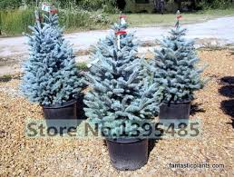 get cheap blue spruce picea pungens glauca aliexpress