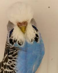 cobalt hen exhibition budgie exhibition budgerigar u0027s pinterest