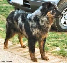 australian shepherd cattle dog 1451 best australian shepherd images on pinterest dog animals