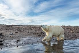as sea ice shrinks can polar bears survive on land