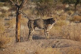 file acinonyx jubatus southern namibia 8 jpg wikimedia commons