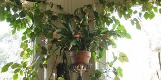 indoor vine plant stunning plant best houseplants destress n amazing indoor vine