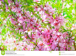 Decorative Shrubs Flowering Shrub Steppe Almond Prunus Tenella Latin With Pink