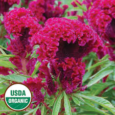 coxcomb flower amish cockscomb organic flower seed savers exchange