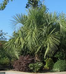 palmier du chili butia capitata devenu odorata le palmier abricot rustique
