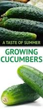 How To Grow Vegetables by 62 Best Images About Cucumbers On Pinterest Gardens Vegetables