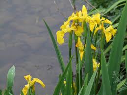 iris pseudacorus u2013 penlan perennials nursery