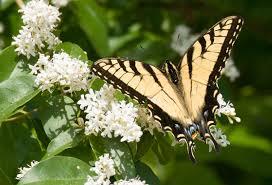 appalachian tiger swallowtail alabama butterfly atlas