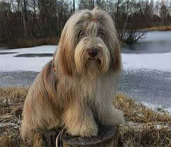 bearded collie mini bearded collie first breed to play nana in the original peter