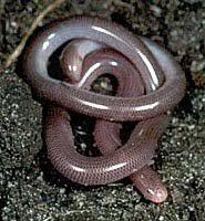 Blind Snake Hawaii All Animals Common Worm Snake Typhlina Bramina