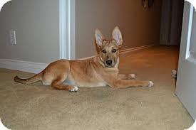 belgian shepherd north carolina foxy adopted puppy a1013899 torrance ca german shepherd