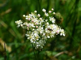 wild flowers in wild meadows free images blossom white bloom food herb produce botany
