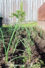 Herb Garden Winter - best 25 winter vegetable gardening ideas on pinterest winter