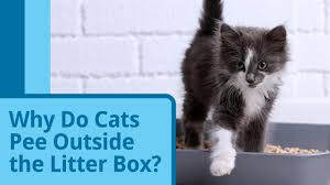 why cats spray and how to stop it why do female cats spray petmd