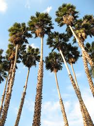 mexican fan palm growth rate washingtonia robusta wikipedia
