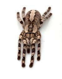 indian ornamental tarantula stock photos image 7936883