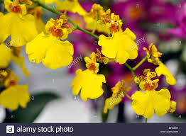yellow orchid yellow orchid hybrid oncidium stock photo 27007647 alamy