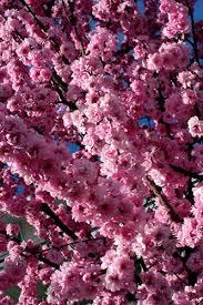ornamental trees for landscaping ornamental flowering plum