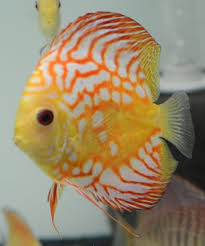 1165 best koi and ornamental fish images on