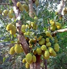 Judge A Tree By Its Fruit - how to grow jackfruit complete growing guide