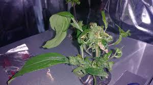 re vegging cannabis
