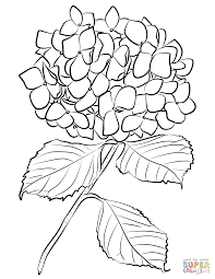 hydrangea coloring page free printable coloring pages