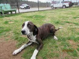 bluetick coonhound rescue georgia view ad german shorthaired pointer treeing walker coonhound mix