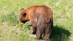 eastern brown bear coloring download eastern brown bear coloring