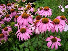 echinacea flower coneflower care planting growing echinacea flowers garden design