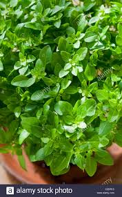 greek basil ocimum basilicum var minimum spring herb culinary