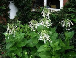 nicotiana hybrids flowering tobacco dictionary of flowers