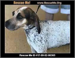 bluetick coonhound dander indiana bluetick coonhound rescue u2015 adoptions u2015 rescueme org
