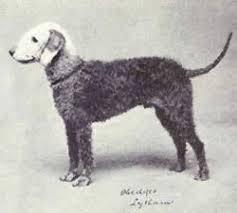 bedlington terrier guide bedlington terrier history temperament care training u0026 more