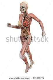 Human Body Muscles Images Skeletal Muscle Stock Images Royalty Free Images U0026 Vectors