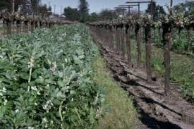 cover crops boost soil in vegetable beds marin master gardeners