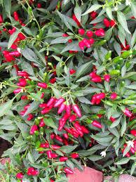 1251 best herbs n veggies garden images on pepper