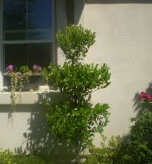 make a poodle topiary