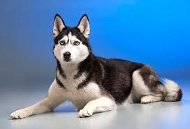 best dog food for huskies food boredom issue resolved top 5