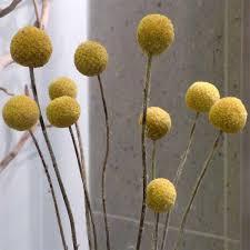 billy balls craspedia wholesale stem
