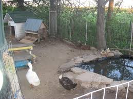 expanded the ducks pond backyard chickens