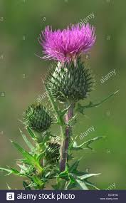spear thistle scots thistle scottish thistle cirsium vulgare