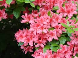 brazil native plants rhododendrons azaleas blooming marvels of the plant world the