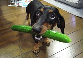 can dogs eat cucumbers side effects health benefits u0026 tips