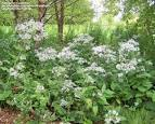Image result for Eurybia macrophylla
