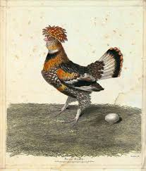 mystery old print chicken breed backyard chickens