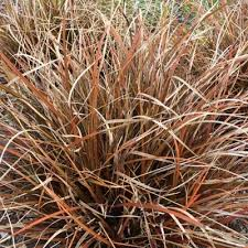 ornamental grasses scotplants direct